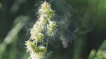 Un micro-capteur pour détecter les pollens